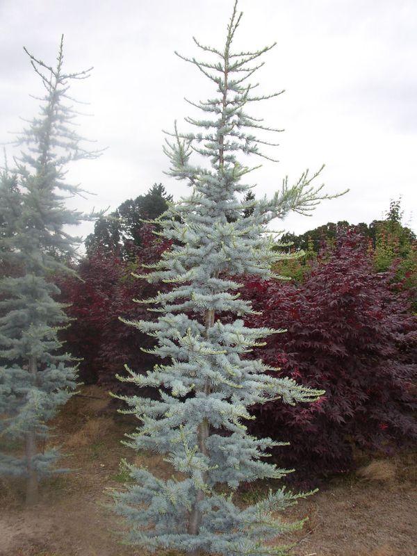 Blue Atlas Cedar Trees For Sale In Puyallup Wa Offerup