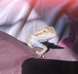 2-3 Month Old Bearded Dragon Thumbnail