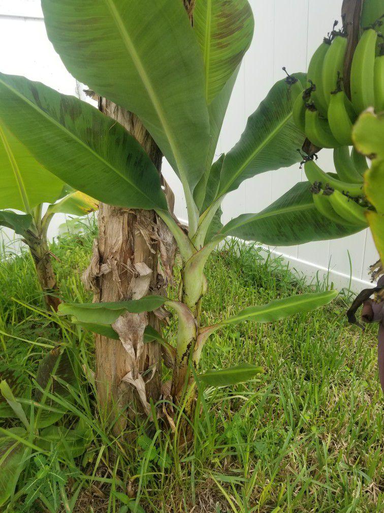 Banana Trees For Sell