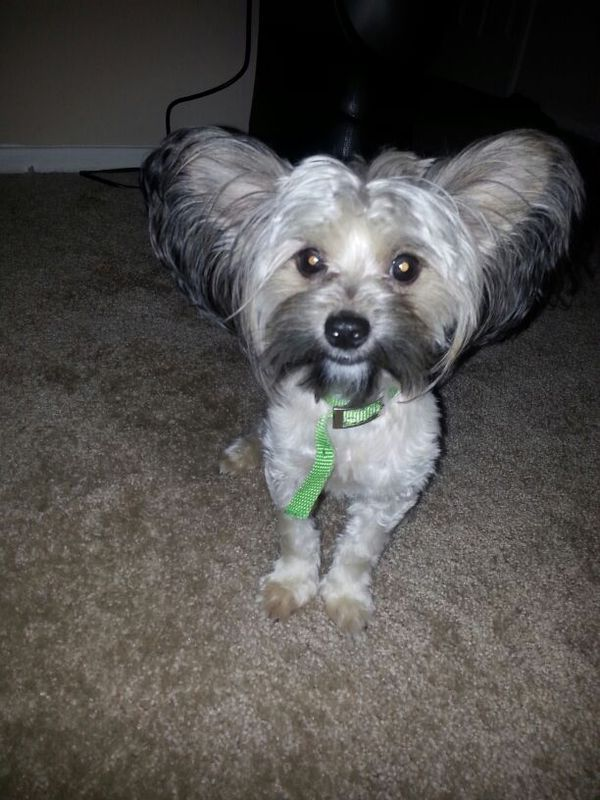 Chinese Crested Puppypowder Puff For Sale In Las Vegas Nv Offerup