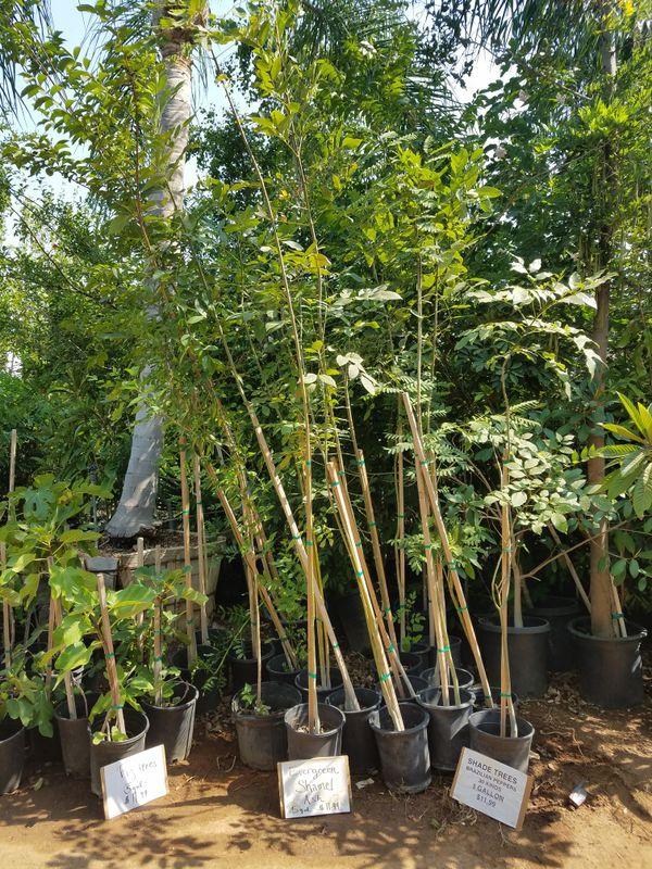 Shade Trees Bird Of Paradise Palm Cypress 5 Gallon