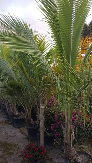 Coconut Palms For Sale In West Palm Beach Fl Offerup