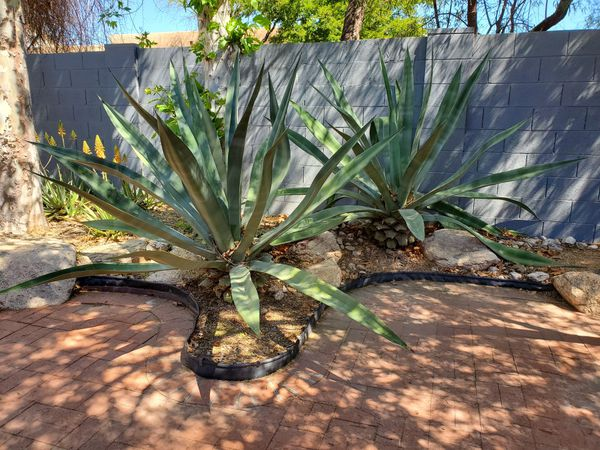 2 Large Agave Plant For Sale In Tucson Az Offerup