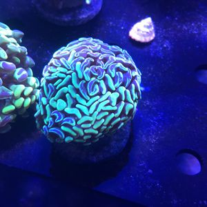 Live coral!! Best prices! for Sale in Orlando, FL