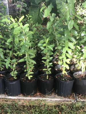Organic pink guava trees for Sale in Tampa, FL