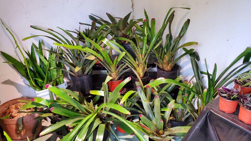 14 bromeliads plants for $50