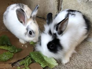 Free Dwarf Bunnies: Male and Female for Sale in DeBary, FL