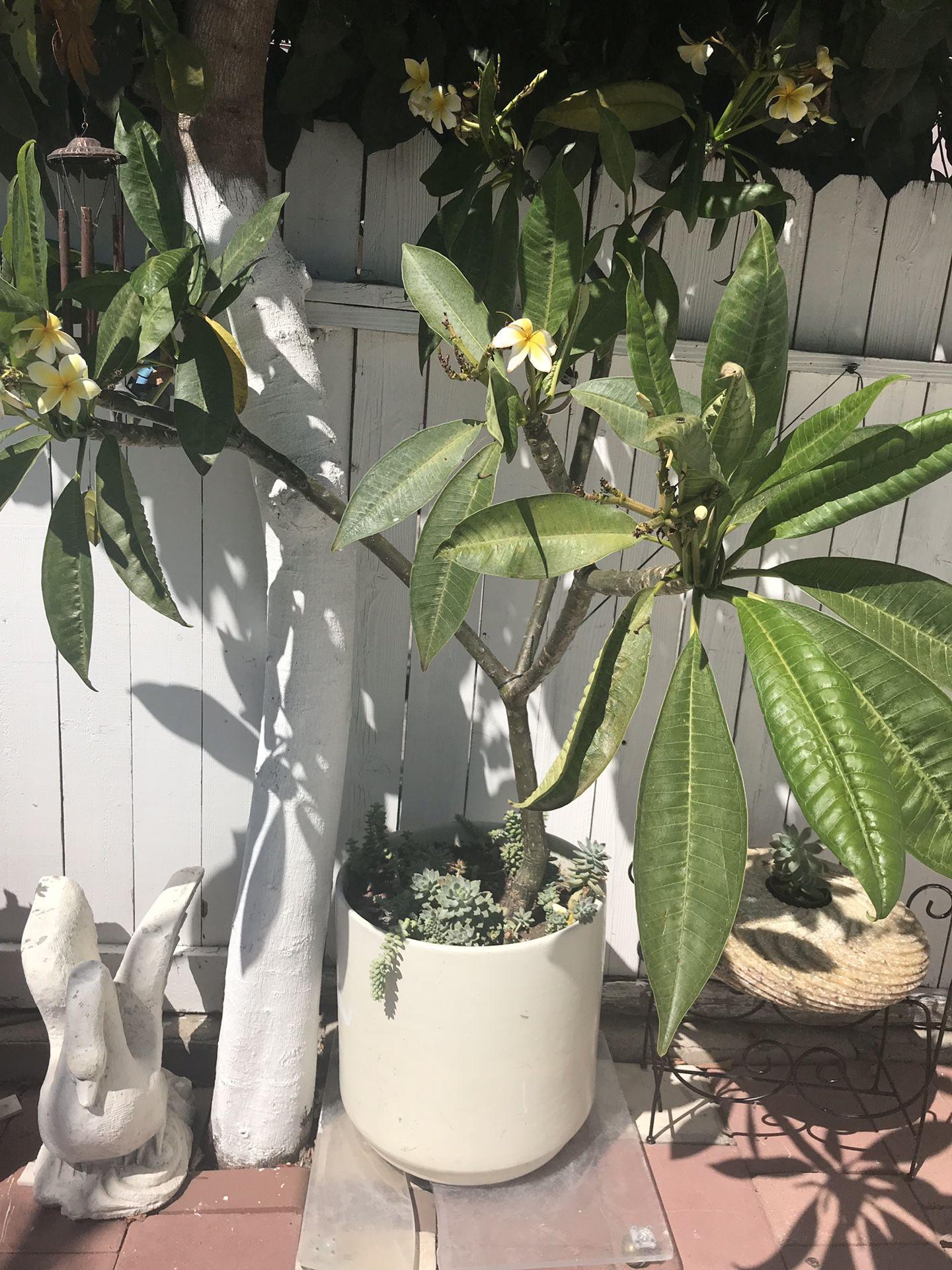 Planta hahullana con maseta y plantas de resequedad