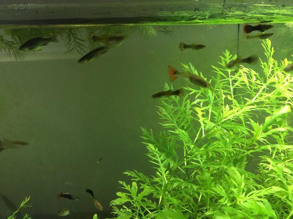 Guppy and Zebra Danio fishes for Sale in Chicago, IL - OfferUp