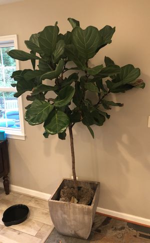 Large potted tree for Sale in Alexandria, VA
