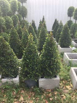 Cone topiary in 3 gls pot Thumbnail