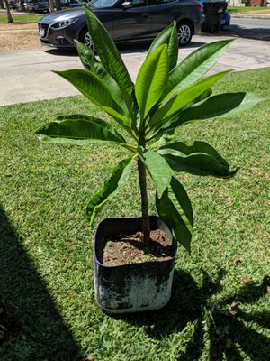 Plumeria (Hawaiian) Plant for Sale in Montebello, CA - OfferUp