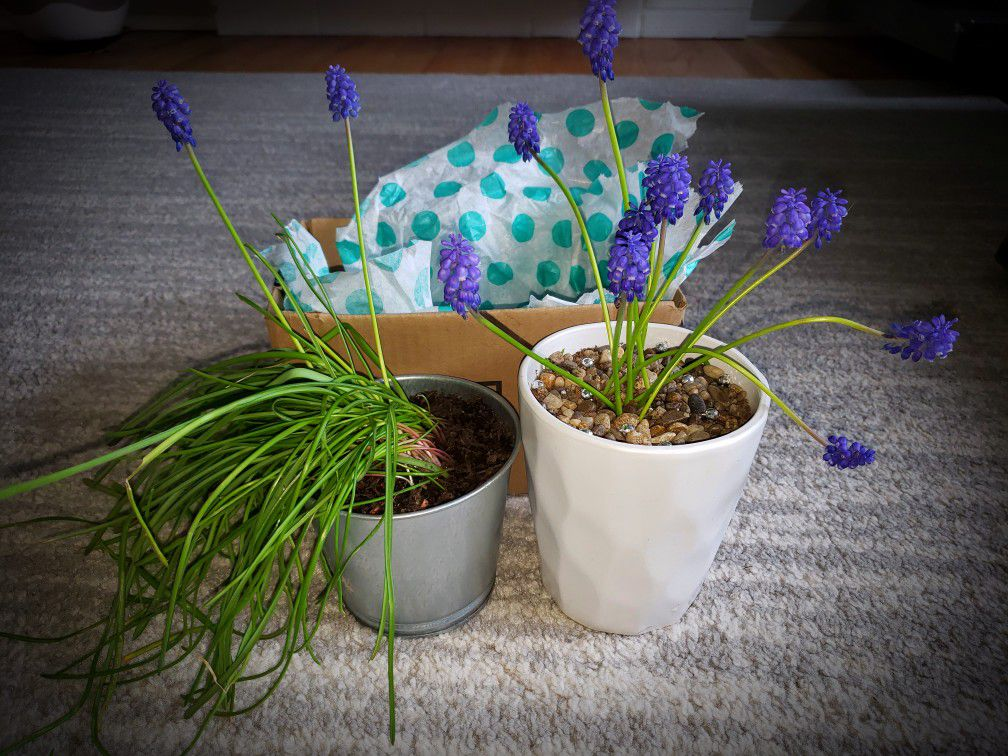 Grape Hyacinth Planter & Bulbs