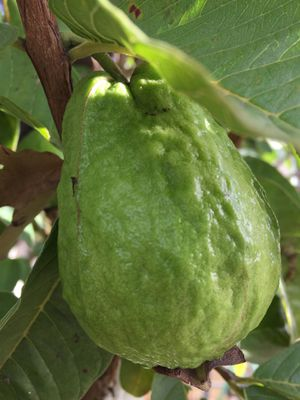 Very crunch Pear shape Guava tree for Sale in Camarillo, CA