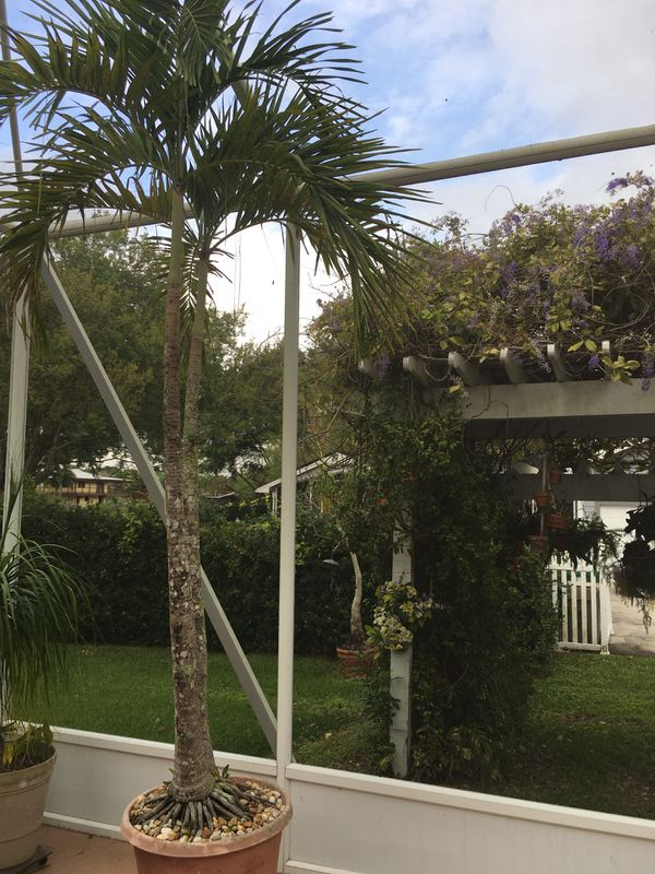 Palm Tree Double 10 12 In Pot And Dolly For Sale In Davie