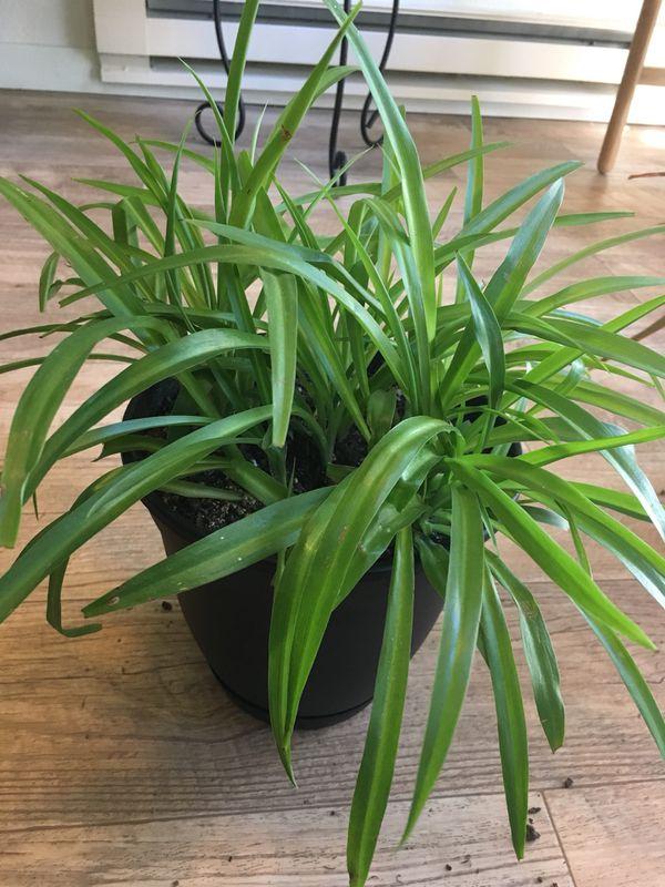 Spider plant (Home & Garden) in Everett, WA - OfferUp
