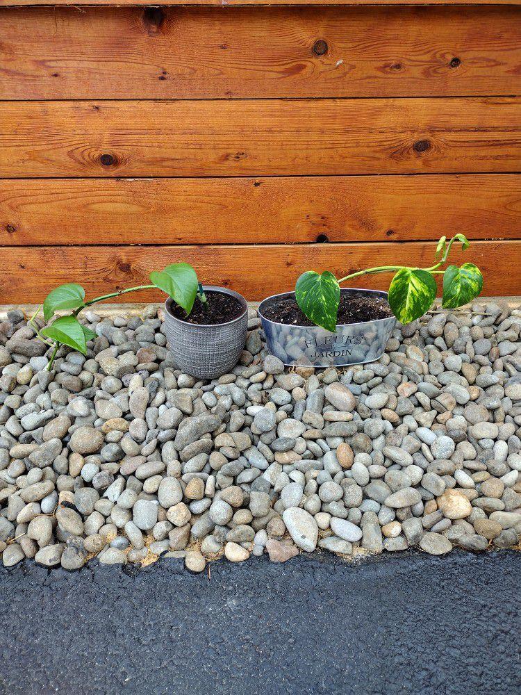Pothos House Plants