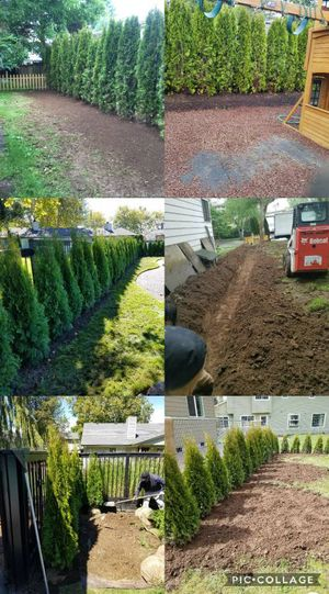 🌲Beautiful Arborvitae Plants for Sale🍁🌳 for Sale in Seattle, WA