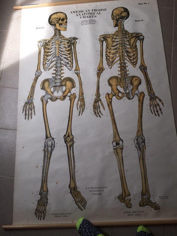 Vintage American Frohse Anatomical Wall Chart- Skeletal System ...