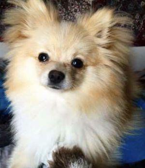 Puppy home for Sale in Lake Ridge, VA