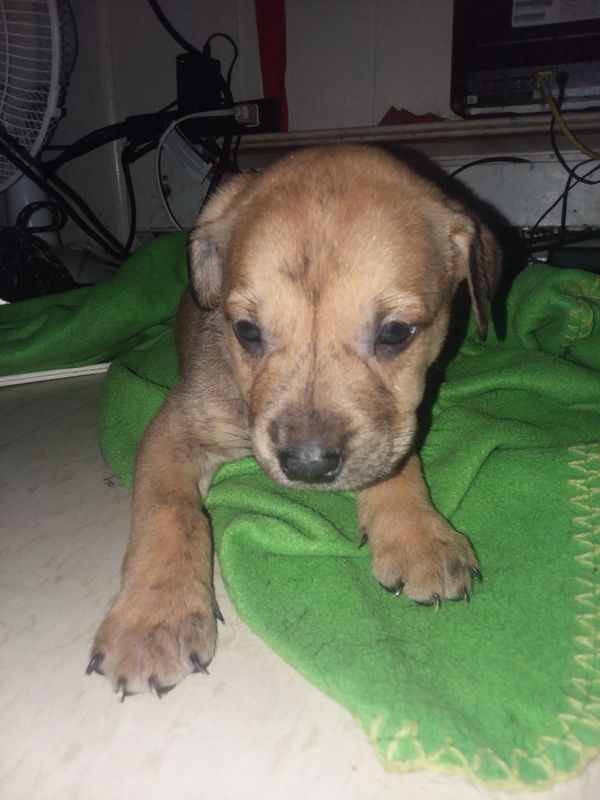 Puppies 1 Month For Sale In Rochester Ny Offerup