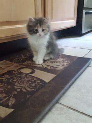 Kitten for Sale in Woodbridge, VA