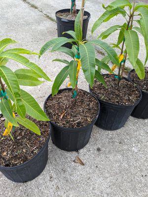 Photo Yasser mango trees 1
