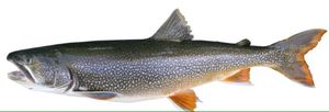 Lake trout fresh for Sale in Baltimore, MD