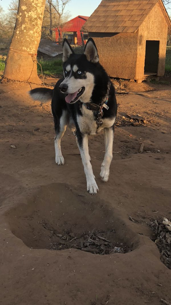 Missing Dog Pleasanton {contact info removed}# for Sale in