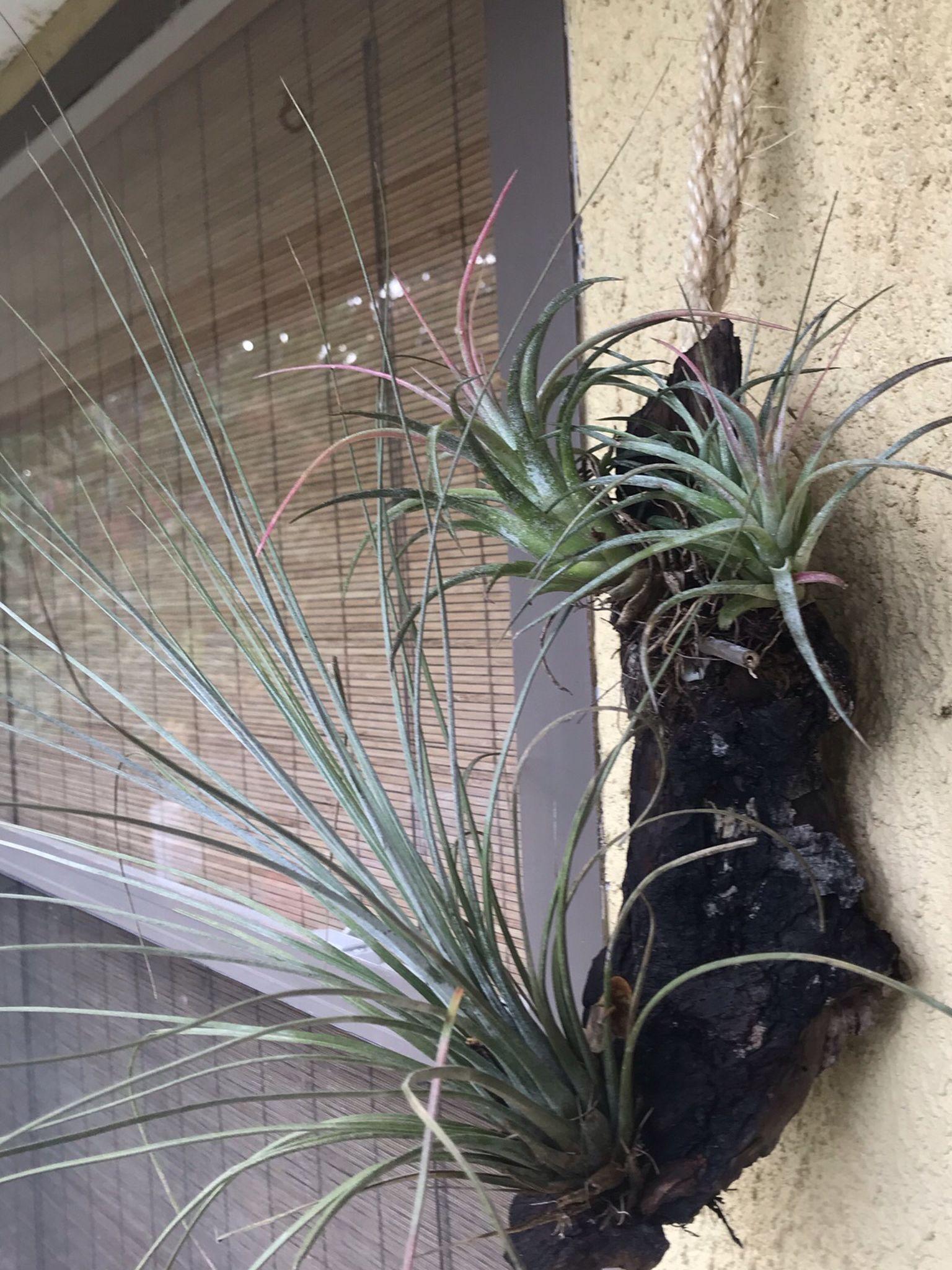 Air Plants #1