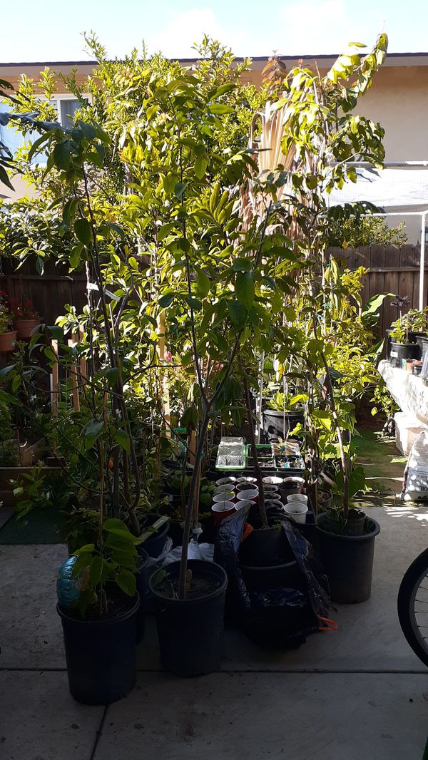Backyard Nursery Exotic Fruit Trees For Sale In Huntington