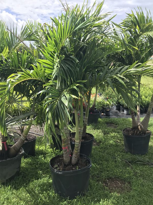 Christmas Palms For Sale In Lehigh Acres Fl Offerup