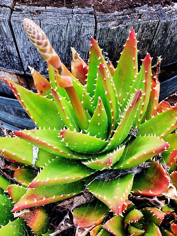 Crocodile Plant Aloe Brevifolia Succulent For Sale In