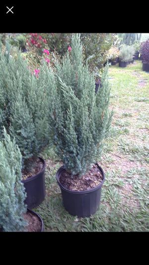 Blue point juniper for Sale in Houston, TX - OfferUp