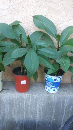 plumeria plants Thumbnail