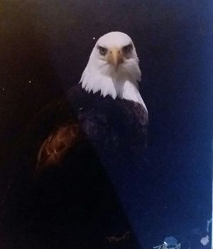Bald Eagle photos for Sale in Las Vegas, NV