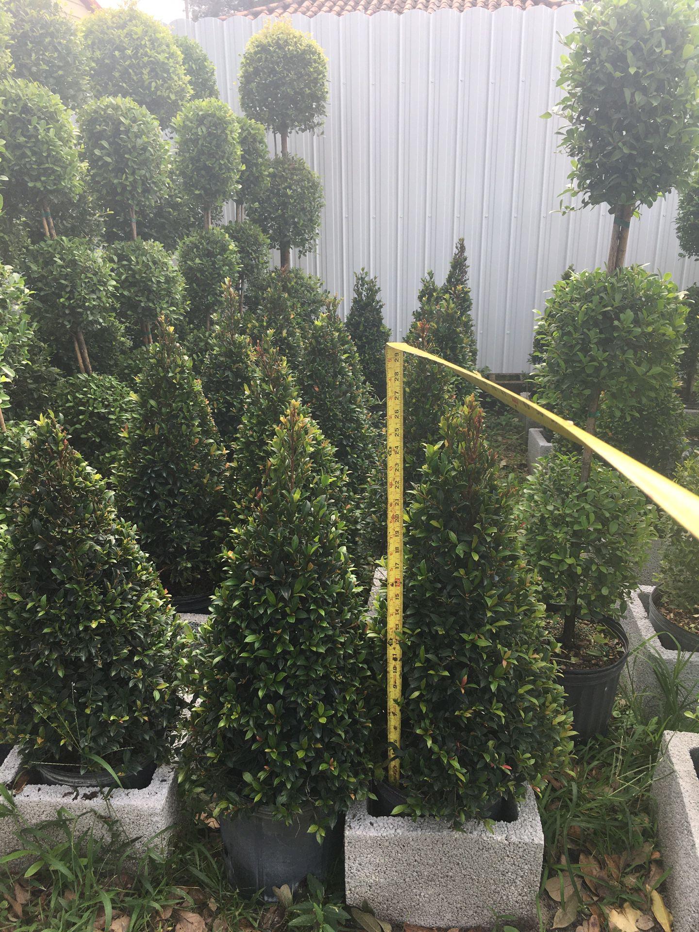 Cone topiary in 3 gls pot