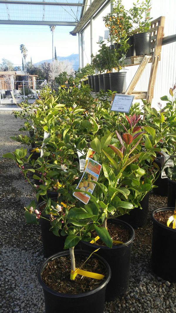 Citrus Trees At The Beaumont Garden Center For Sale In Beaumont Ca Offerup