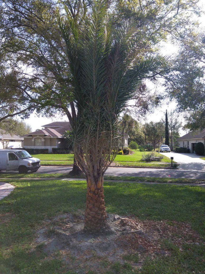 Sylvester Palm trees