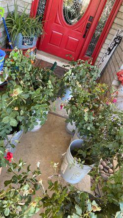 Podos de rosales Thumbnail