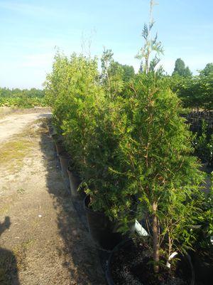 Green Giants for Sale in Winston-Salem, NC