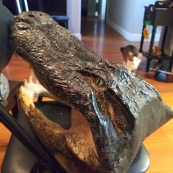 20 Inch Authentic Taxidermy Alligator Head  Thumbnail