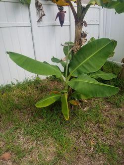 Banana Trees For Sell Thumbnail
