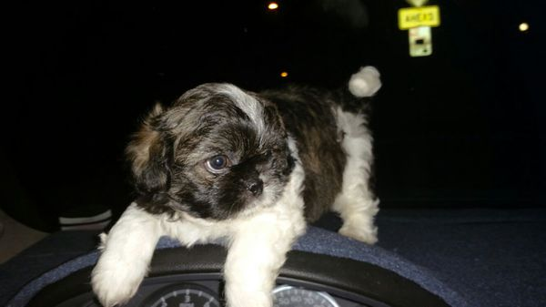 Shih Tzu Puppy For Sell For Sale In Los Angeles Ca Offerup