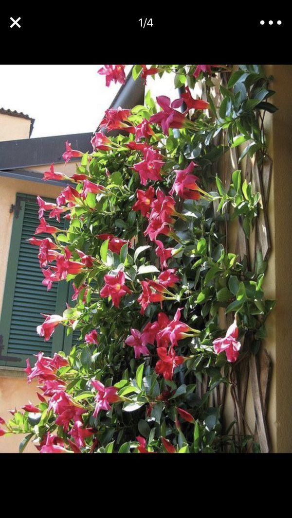 Beautiful vining dip red flowers home garden in aurora co offerup mightylinksfo