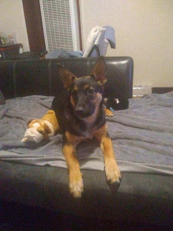 German Shepherd Puppy Pet Supplies In San Francisco Ca Offerup