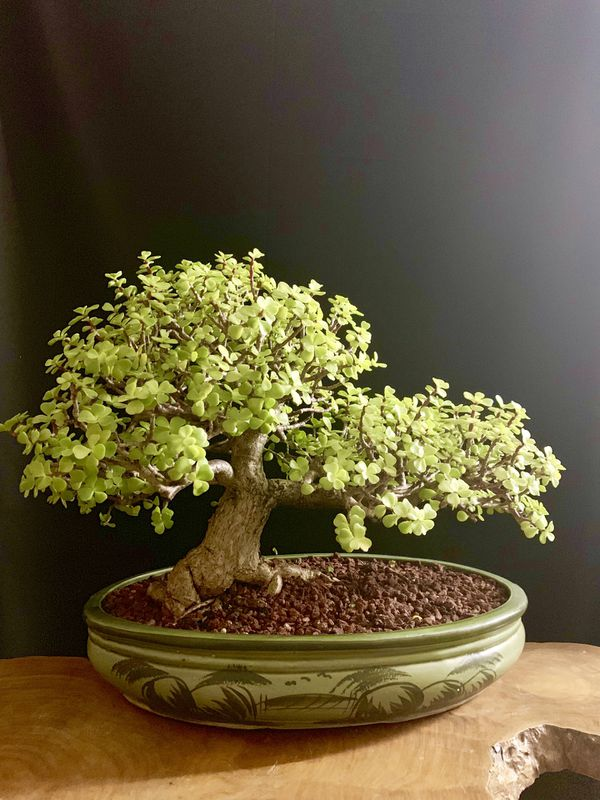 Bonsai Tree For Sale In Davie Fl Offerup