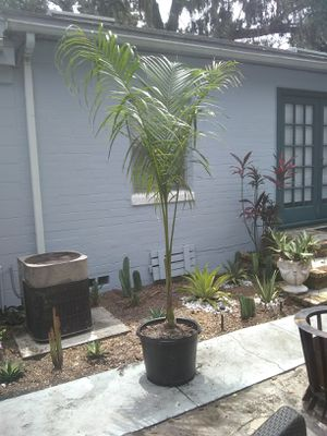 15 gallon Royal Palm deliver and planted for Sale in Orlando, FL