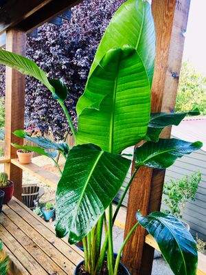 Live indoor huge White Bird of Paradise plant in a temporary planter flower pot—firm price for Sale in Seattle, WA