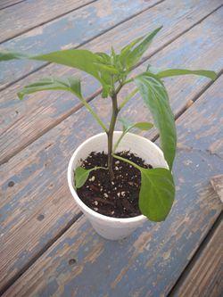 Jalapeno Plants $5 Thumbnail
